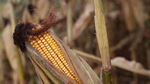 控制價格措施開始了?中國突取消部分玉米進口驚動市場(圖:AFP)