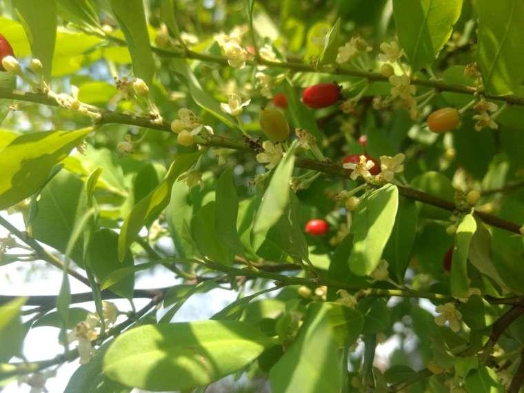 原產於南美洲的古柯樹。 圖│Liseth Daniela Martinez Atehortua(CC BY-NC 4.0)