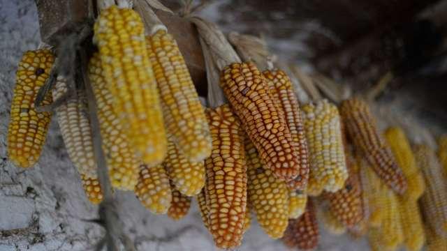 國際價格上漲需求增加 印度積極增加玉米出口(圖片:AFP)