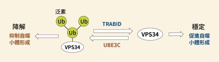 TRABID 與 UBE3C 共同調控 VPS34 的示意圖,TRABID 會促進細胞自噬作用;反之,UBE3C 則會抑制細胞自噬。 圖│研之有物(資料來源│陳瑞華)