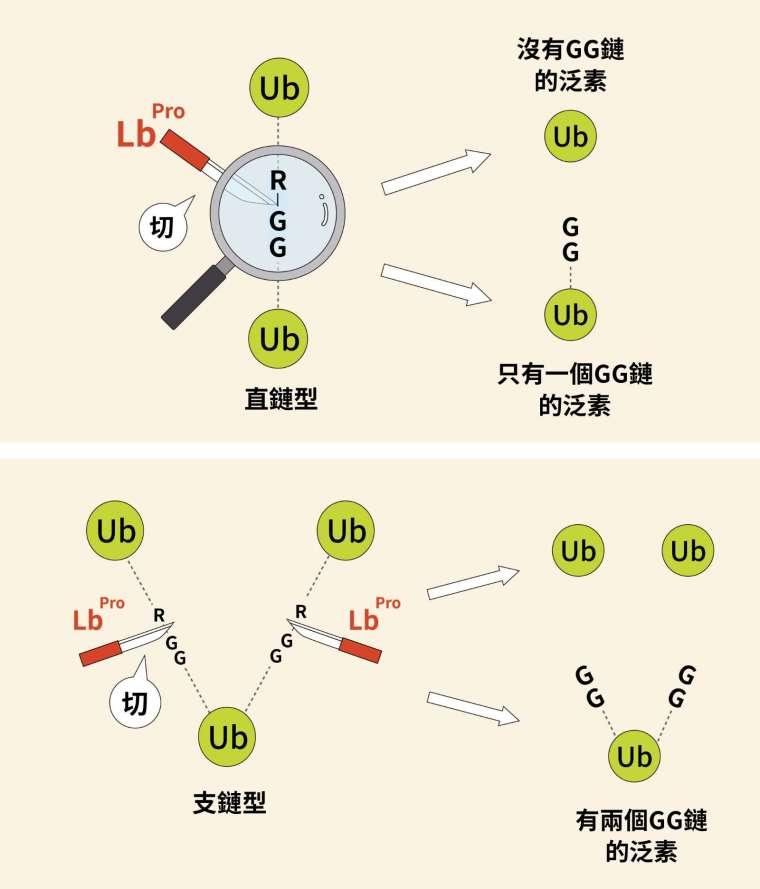 透過口蹄疫病毒的啟發,人工合成的蛋白酶 Lbpro 可以精準切割泛素之間的 R-GG 鏈結,讓研究人員得以透過質譜分析,輕易辨識出泛素的直鏈與支鏈結構及相對含量。 圖│研之有物(資料來源│陳瑞華)