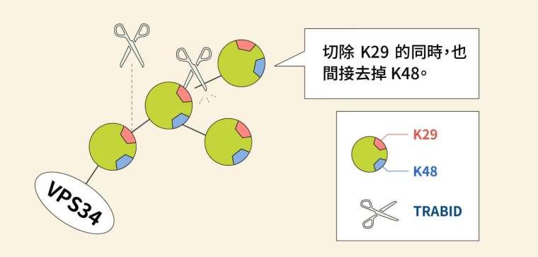 圖片為 TRABID 切除泛素分支的細節,原來是在切除 K29 的同時,也間接去掉 K48。 圖│研之有物(資料來源│陳瑞華)