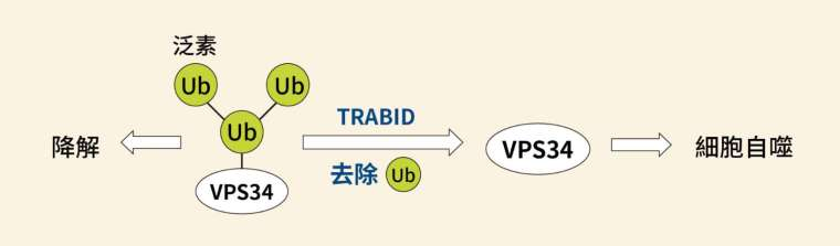 TRABID 可以去除 VPS34 上面的泛素分支(K29、K48),促進細胞自噬作用。 圖│研之有物(資料來源│陳瑞華)
