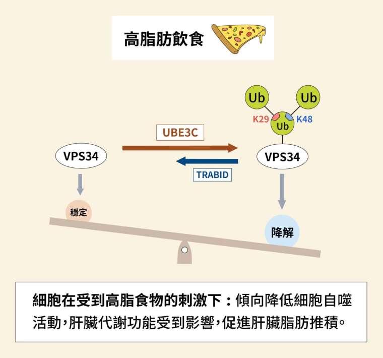 細胞在受到高脂食物的刺激下,傾向降低細胞自噬活動,VPS34 經過泛素化之後降解。肝臟代謝功能受到影響,促進肝臟脂肪推積。 圖│研之有物(資料來源│陳瑞華)