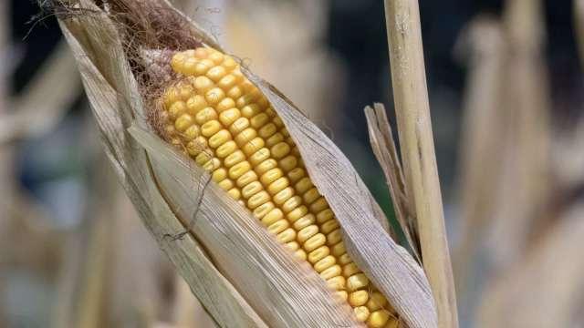 美國農業部供需報告符合預期 玉米盤中跌破5美元後終場收漲(圖:AFP)