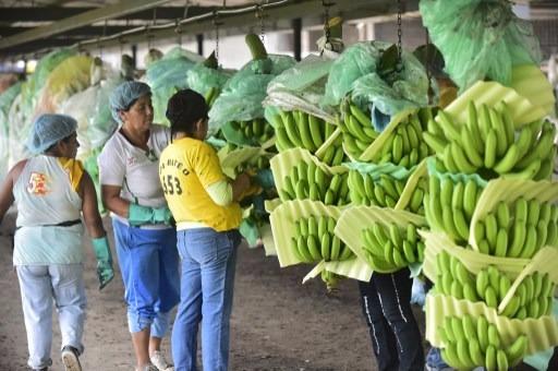 黃葉病肆虐,讓香蕉產業面臨嚴峻的挑戰。 (圖:AFP)